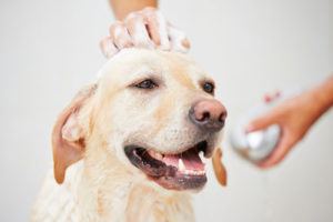 Smiling Golden Retriever getting a bath.